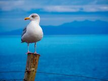 Gull on wooden pole Royalty Free Stock Image