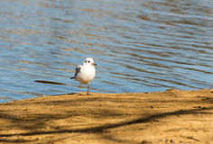 Gull is the yellow sand of the shore of the blue calm sea of water Royalty Free Stock Photo
