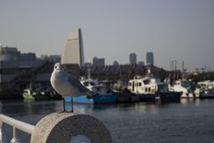 Gull in Yokohama harbor. Photo was made in March 2018 royalty free stock images