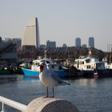 Gull in Yokohama harbor. Photo was made in March 2018 stock images