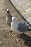 Gull and Young. Relaxed gull with annoying young bird Stock Photo