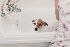Gullig älskvärd liten hund som är våt i badkar Ägare för ung kvinna som får hennes hund att göra ren hemma Vit bakgrund royaltyfria foton