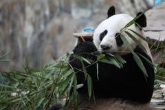 gullig ätapanda för djur bambu Royaltyfria Bilder