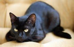 gullig ögonyellow för svart katt Royaltyfri Bild