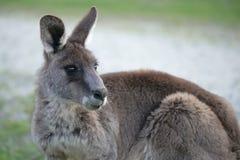 Gullig östlig grå känguru royaltyfri foto
