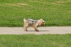 Gullig aktiv tröttad liten hund med rosa färg- och blåtttillbehör Arkivfoton