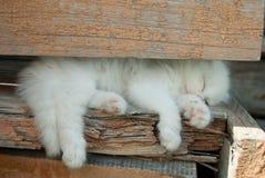 Gullig angora- vit kattungeljudsömn fotografering för bildbyråer