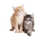 Gullig apelsin och svart Tabby Kittens Together Royaltyfri Foto