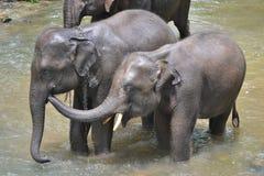Gullig asia elefant som tar ett bad i floden Royaltyfria Bilder