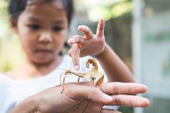 Gullig asiatisk barnflicka som ser och trycker på bladgräshoppan som pinne på förälderhanden med nyfiket och roligt royaltyfria bilder