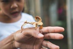 Gullig asiatisk barnflicka som ser och trycker på bladgräshoppan som pinne på förälderhanden med nyfiket och roligt arkivbilder