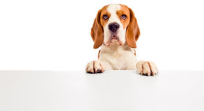 Gullig beagle Arkivfoto