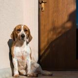 gullig beagle Arkivbilder
