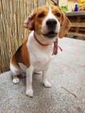 Gullig beagle på trädgården arkivfoto