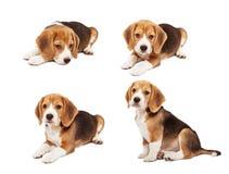 Gullig beaglevalp Royaltyfria Foton
