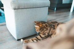 Gullig bengal katt med gulliga pussyögon Royaltyfri Foto