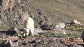 Gullig bergsfårunge stock video