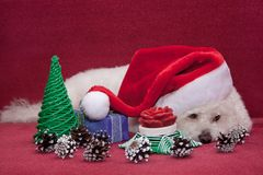 Gullig bichonfrise i den Santa Claus hatten Royaltyfria Bilder