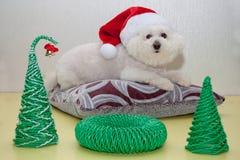 Gullig bichonfrise i den Santa Claus hatten ligger på en mjuk kudde Arkivfoto