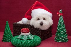 Gullig bichonfrise i den Santa Claus hatten sitter i en vide- korg Arkivbilder