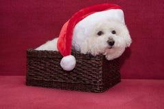 Gullig bichonfrise i den Santa Claus hatten sitter i en vide- korg Arkivfoto