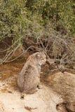 Gullig Bobcat Fotografering för Bildbyråer