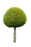 Gullig boll format träd som isoleras på vit bakgrund fotografering för bildbyråer