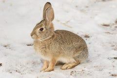 Gullig bomullssvanskaninkanin i snö Fotografering för Bildbyråer