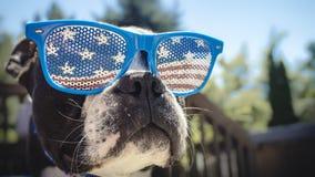 Gullig Boston Terrier hundJuli 4th bakgrund Arkivfoto