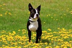 Gullig boston terrier ut i ett fält av blommor Arkivfoton
