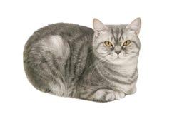 Gullig brittisk katt Royaltyfri Bild