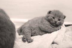 Gullig brittisk Shorthair kattunge Royaltyfri Foto