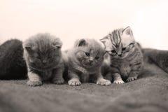 Gullig brittisk Shorthair kattunge Fotografering för Bildbyråer