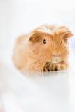 Gullig brun australisk hamster Arkivfoton