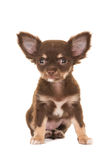 Gullig brun chihuahuavalphund Royaltyfria Foton