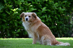 Gullig brun hund i utomhus-, husdjur Arkivfoto