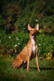 Gullig brun hund som sitter på gräset Royaltyfri Foto