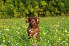 Gullig brun hundspring till och med äng royaltyfria foton
