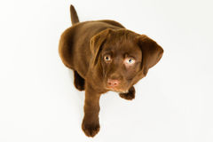 Gullig brun labrador valphund som ser upp Fotografering för Bildbyråer