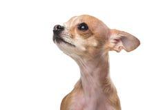 Gullig chihuahua som ser upp Fotografering för Bildbyråer