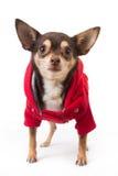 Gullig chihuahuahund Fotografering för Bildbyråer