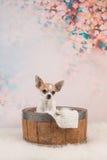 Gullig chihuahuahund i en korg Fotografering för Bildbyråer