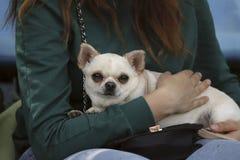 Gullig chihuahuavalp i händerna av en flicka royaltyfria foton