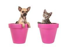 Gullig chihuahuavalphund och ung katt för strimmig katt i rosa blomkrukor Arkivfoto