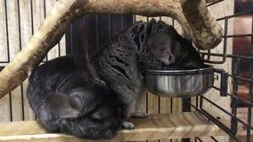 Gullig chinchilla som äter i buren lager videofilmer