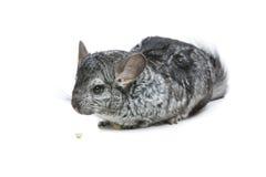 Gullig chinchilla som isoleras över vit bakgrund Arkivfoto