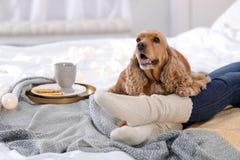 Gullig Cocker Spaniel hund med den varma filten som hemma ligger nära ägare på säng royaltyfria bilder