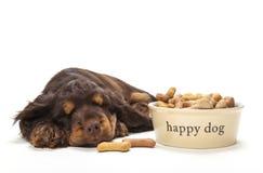 Gullig cockerspanielvalphund som sover vid bunken av kex Arkivfoton
