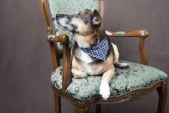 Gullig Corgihund som kopplar av på en stol royaltyfri fotografi