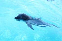 Gullig delfinsimning i pölen Arkivbilder